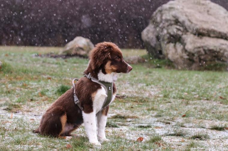 En hund i profil i lätt snöfall.